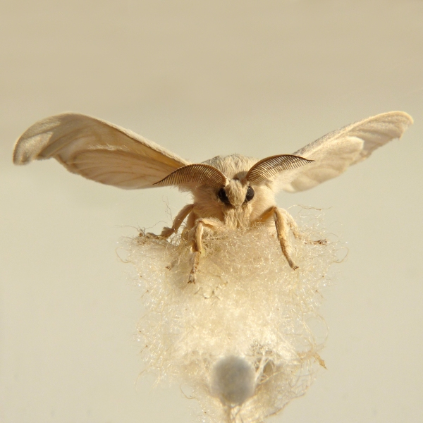 Silky – Bombyx mori