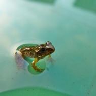 Froglet2
