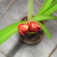 amaryllis1